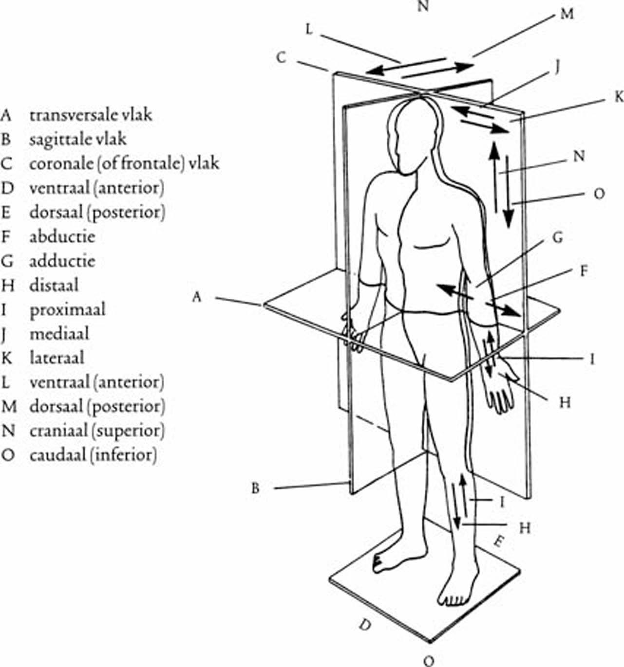 Perifere anatomie: ademapparaat en bovenste luchtwegen | SpringerLink