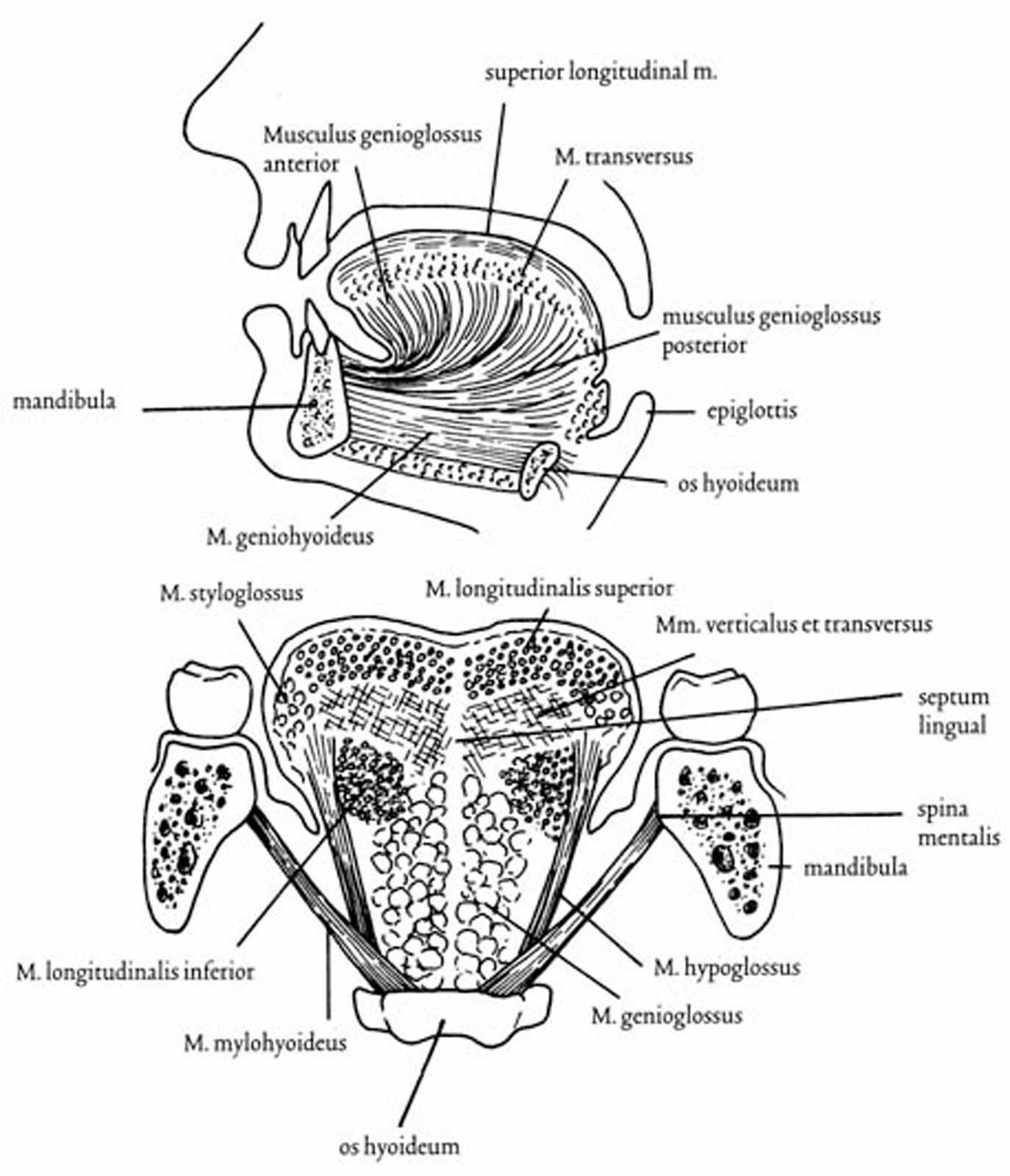 Perifere anatomie: ademapparaat en bovenste luchtwegen   SpringerLink