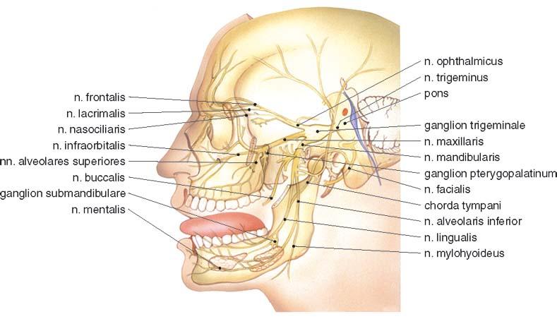 2 Anatomie van de nervus trigeminus | SpringerLink