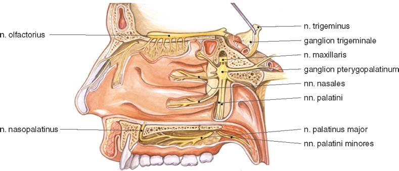 Anatomie Des Trigeminusnervs Sch – Rari
