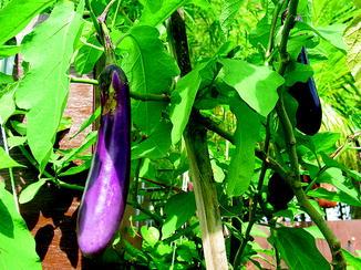 40 seeds Bangladeshi Vegetable light green aubergine begun