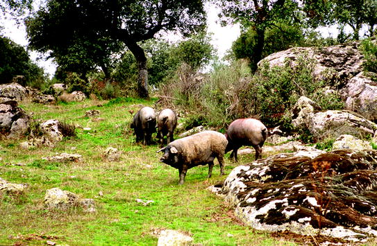 Raising Livestock in Oak Woodlands | SpringerLink