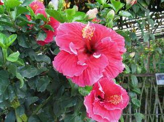 Hibiscus Rosa Sinensis Springerlink