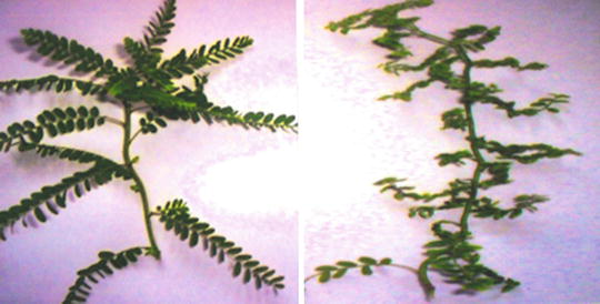 Viral Diseases on Medicinal Plants of North-Eastern Uttar