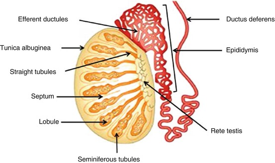 Overview Of The Male Reproductive System Springerlink