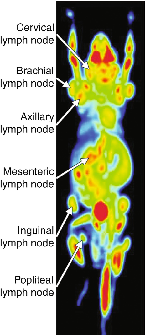 Nonclinical Imaging Studies For The Diagnosis Of Lymph Node