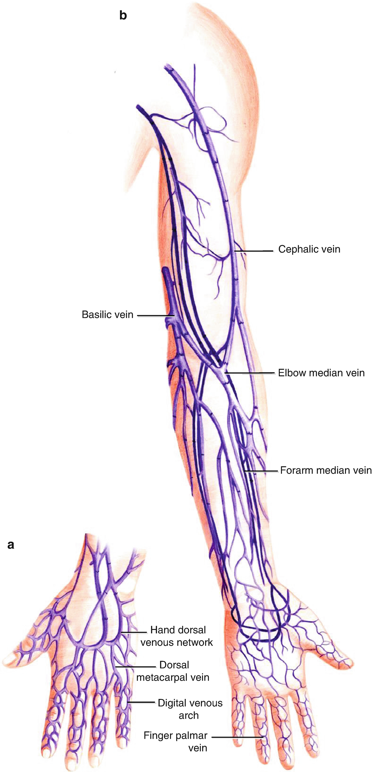 Applied Anatomy Of The Hand Springerlink And Root Middle Finger On Index Bone See Diagram Open Image In New Window