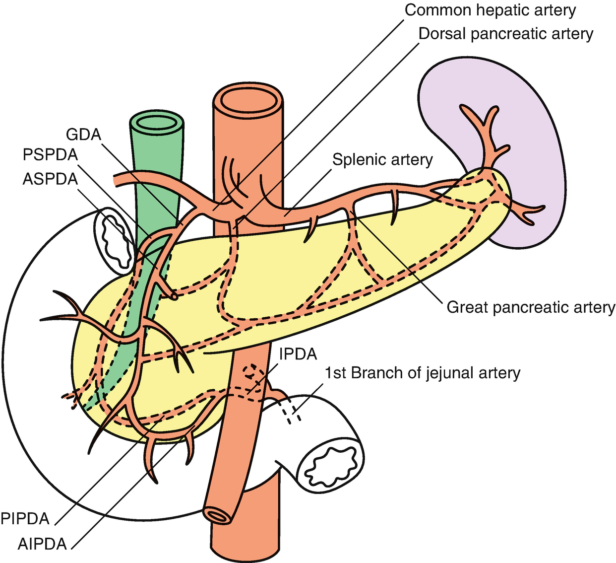 Surgical Anatomy Of The Pancreas And The Periampullary Region
