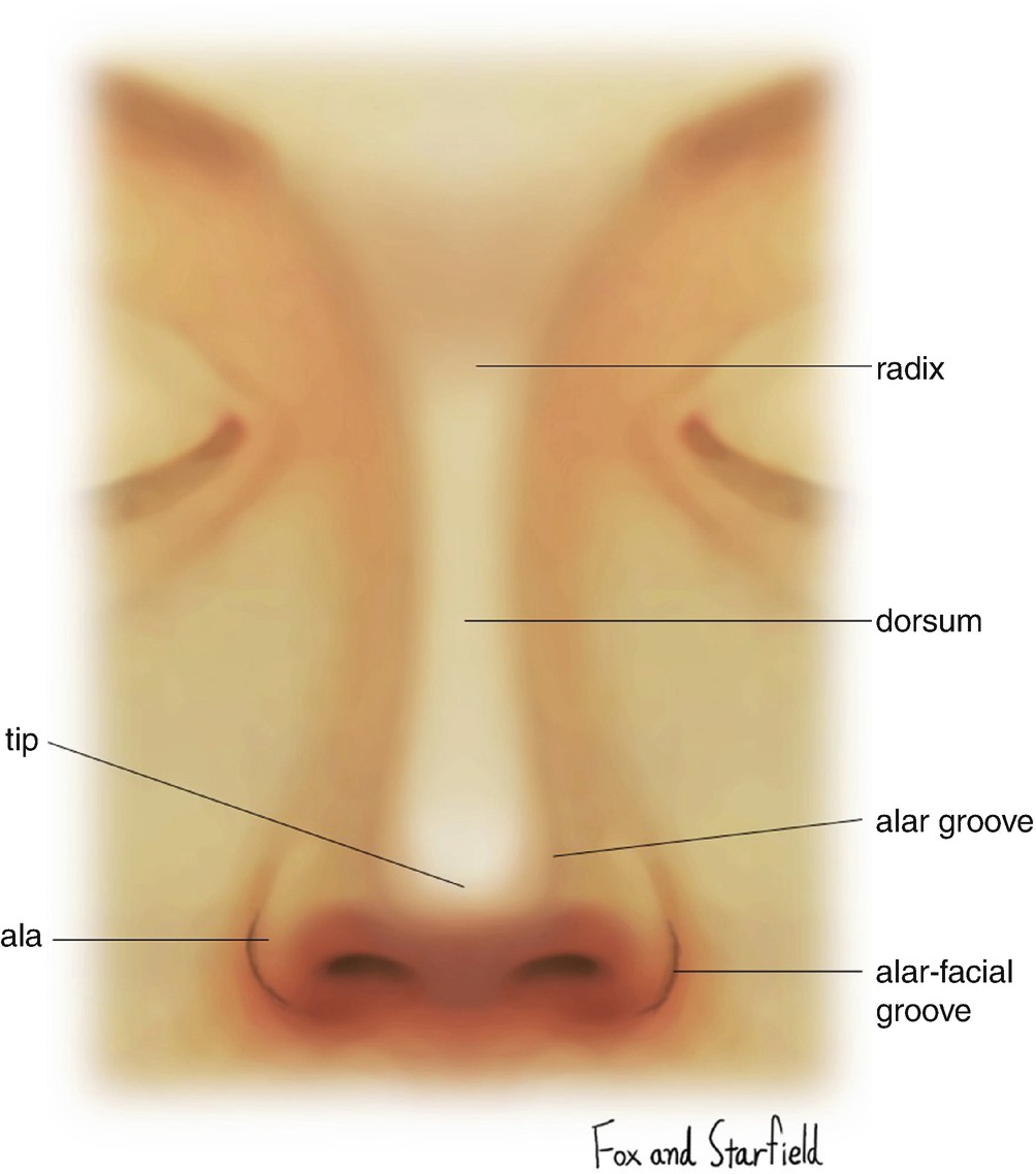 Surgical Anatomy and Physiology of the Nose | SpringerLink
