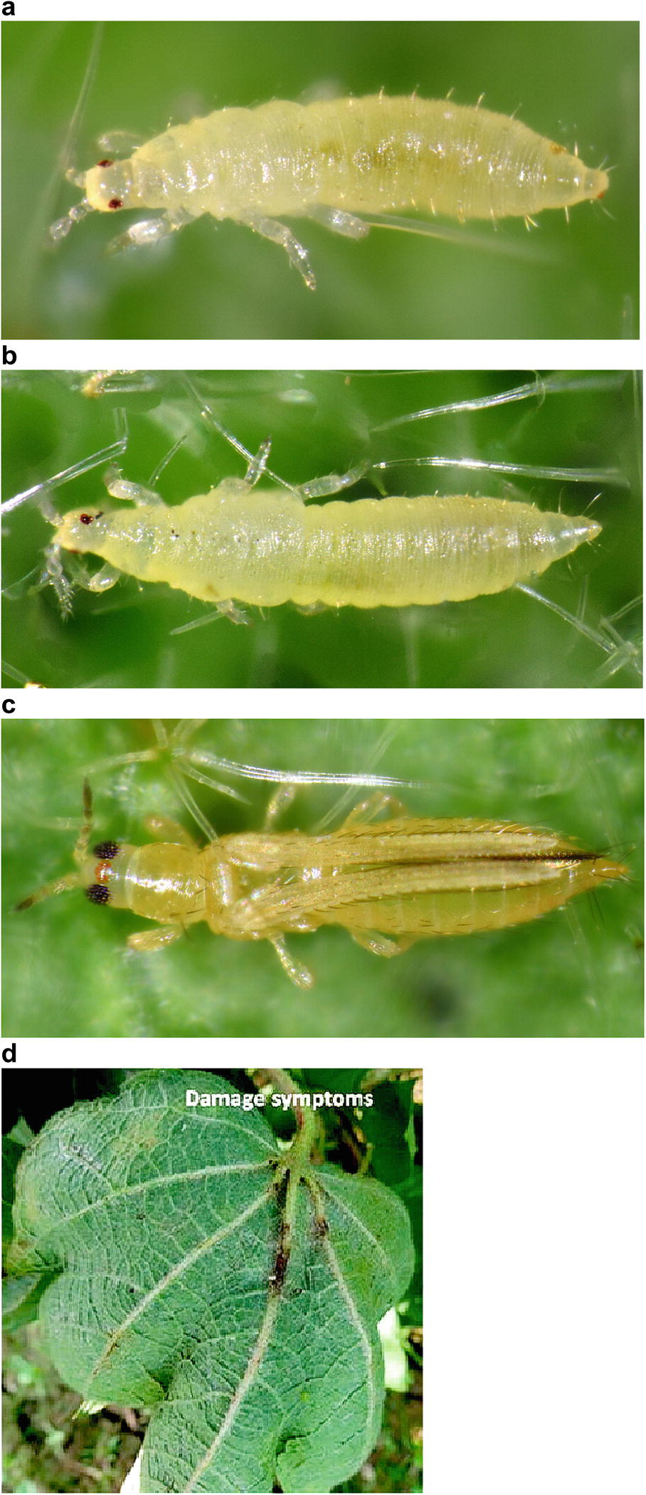 Insect Pests of Cotton | SpringerLink