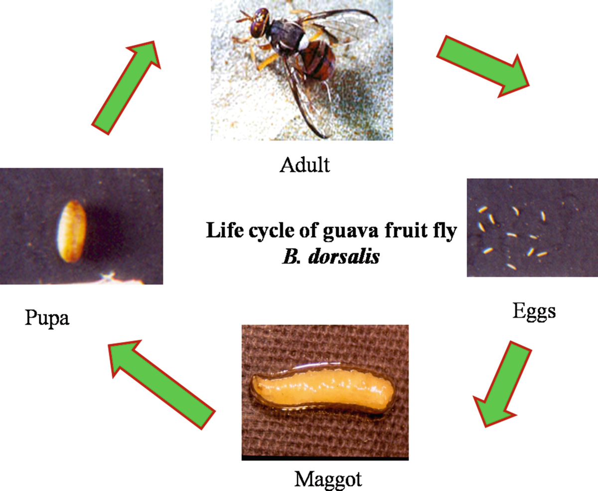 Pests of Guava | SpringerLink