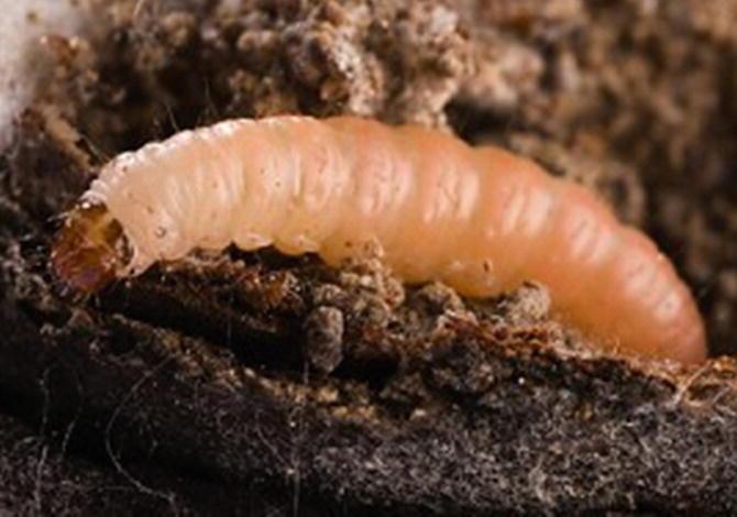 Pests of Walnut | SpringerLink