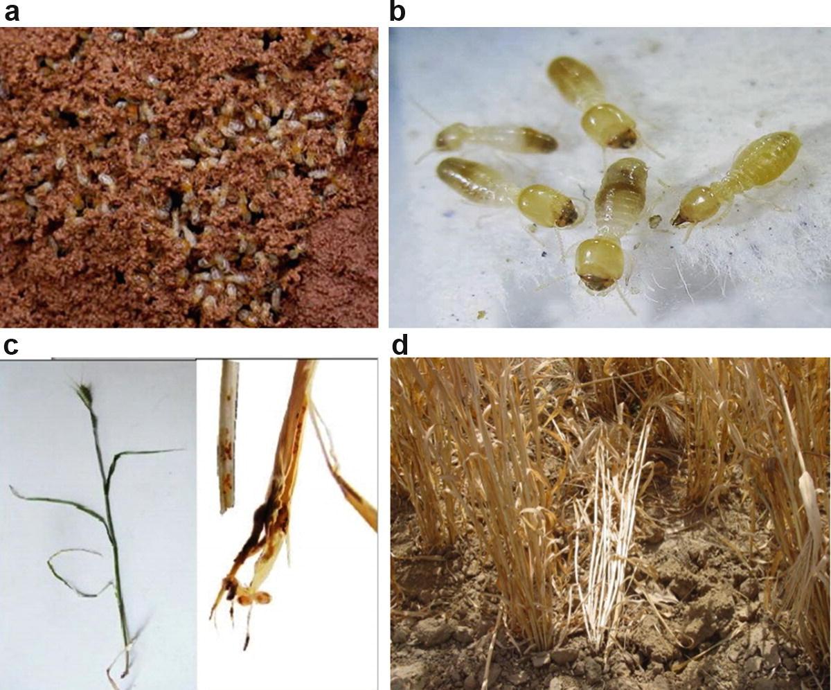 Pests of Wheat | SpringerLink