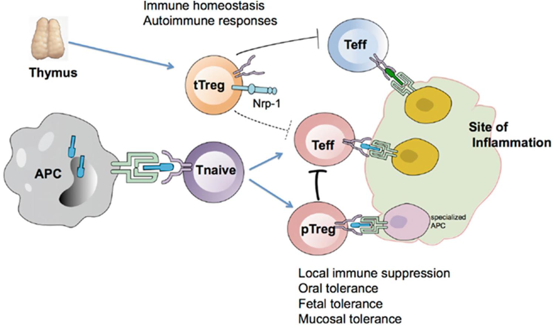 Regulatory T Cell-Mediated Tissue Repair | SpringerLink