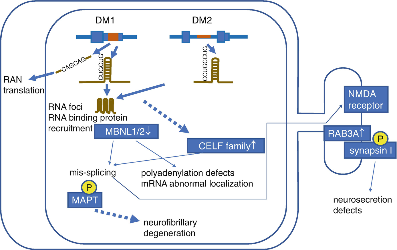 Molecular Defects in the DM Central Nervous System