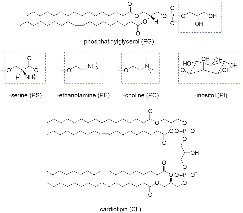 Membrane Phospholipid Biosynthesis in Bacteria | SpringerLink