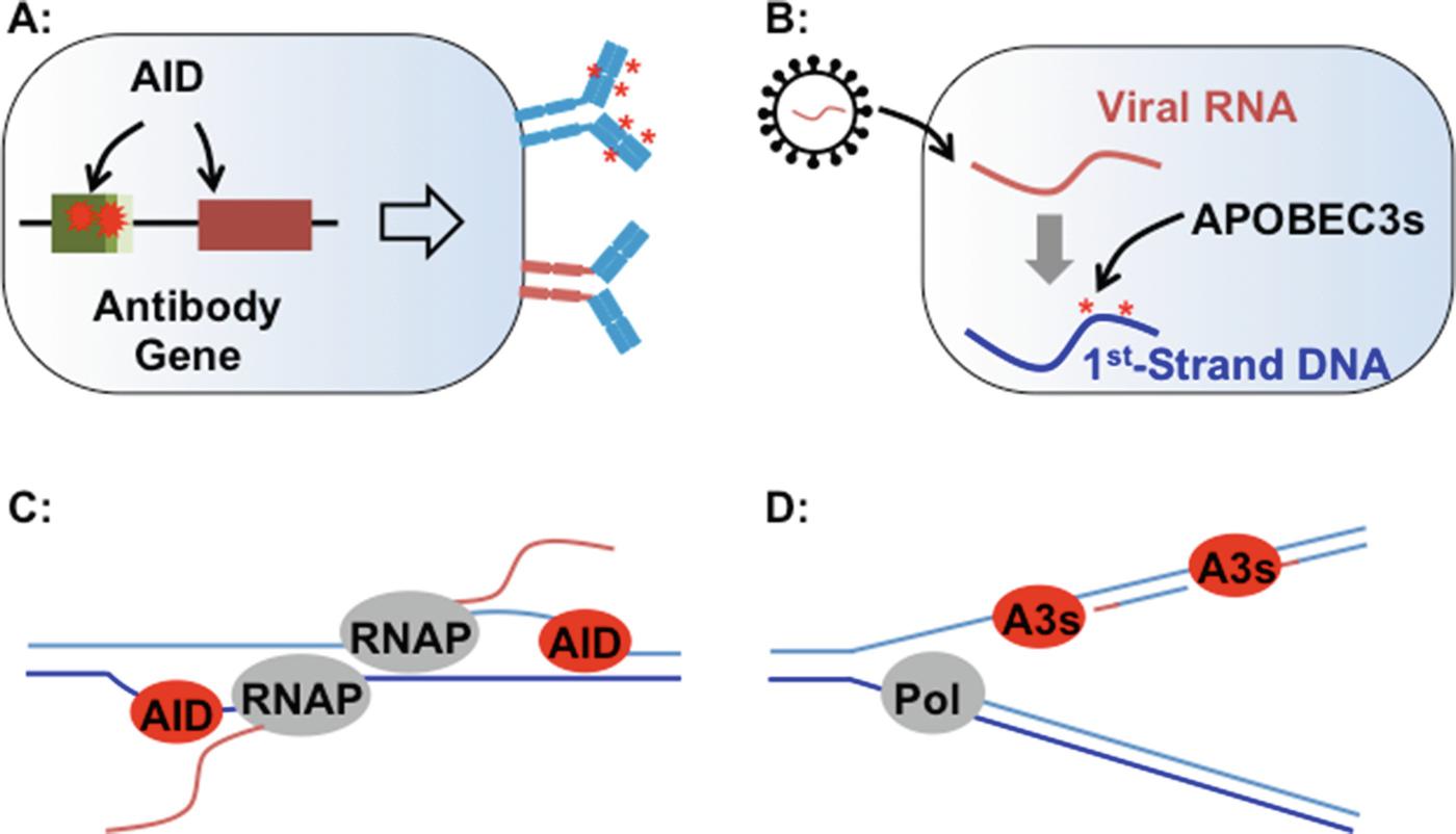 Generation of Genomic Alteration from Cytidine Deamination