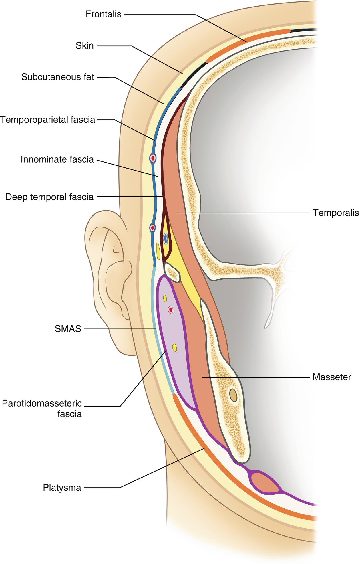 Anatomy for Absorbable Thread Lifting | SpringerLink