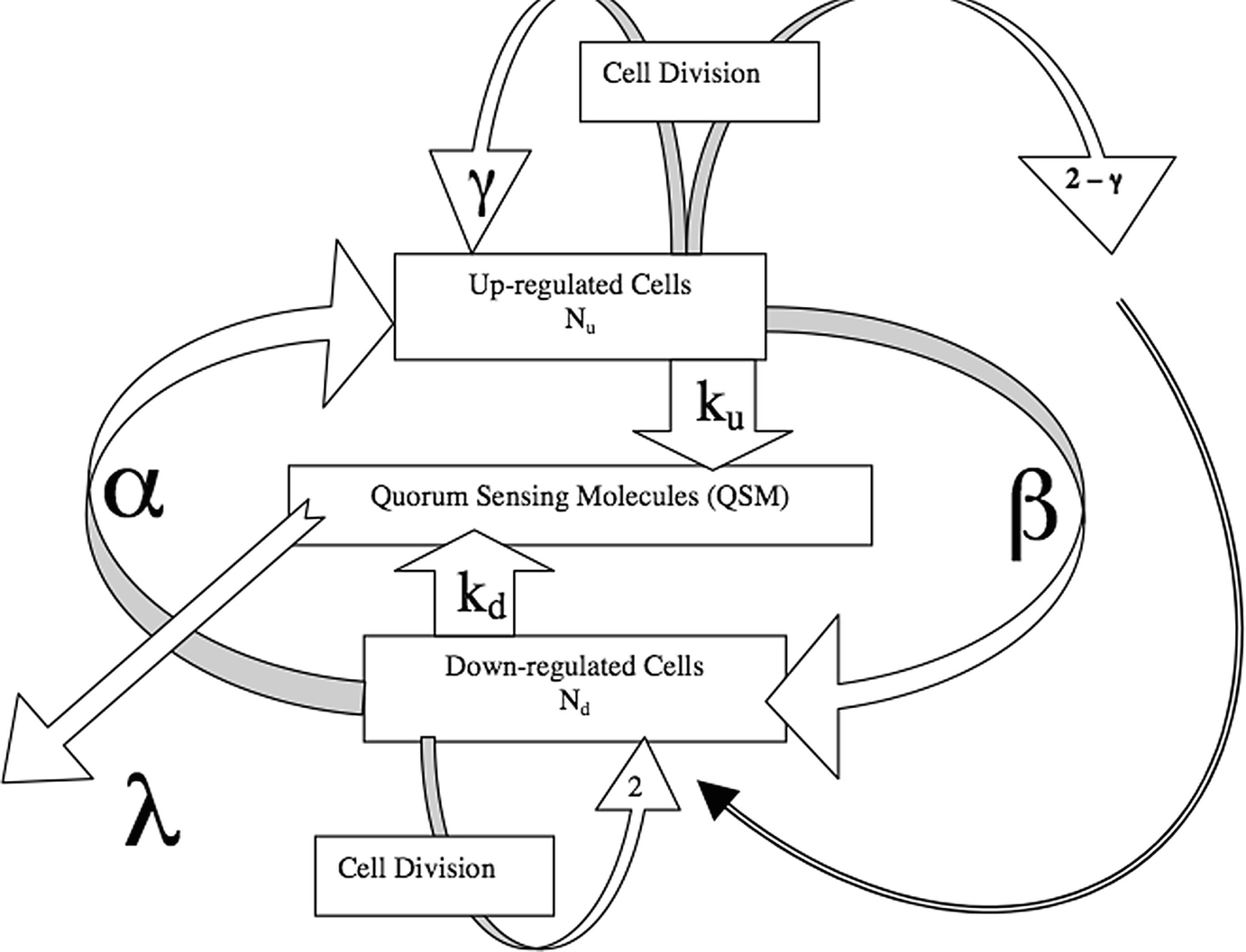 Mathematical Model of Quorum Sensing and Biofilm | SpringerLink