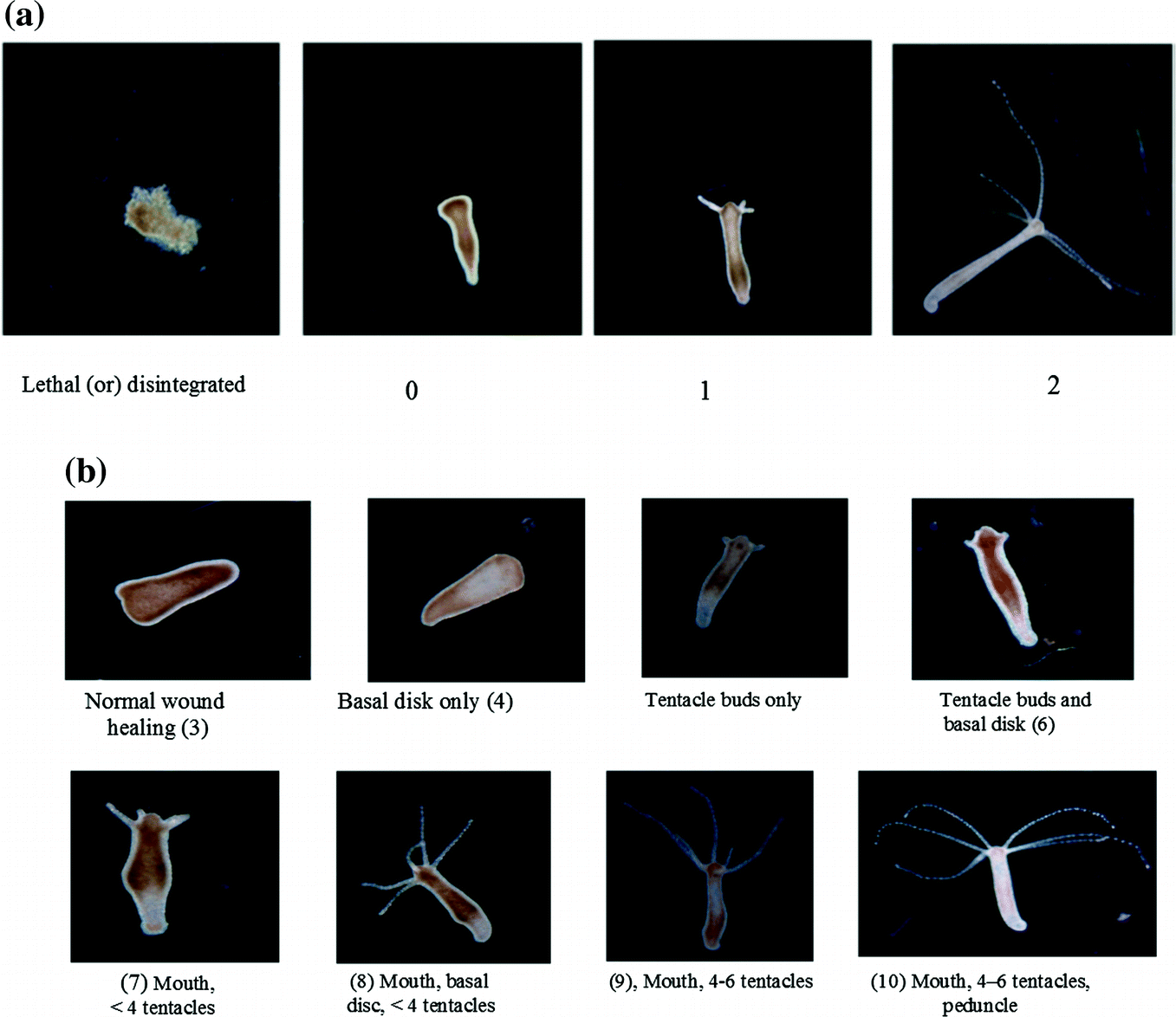 Futuristic Approach to Alternative Model Organisms: Hydra Stakes Its