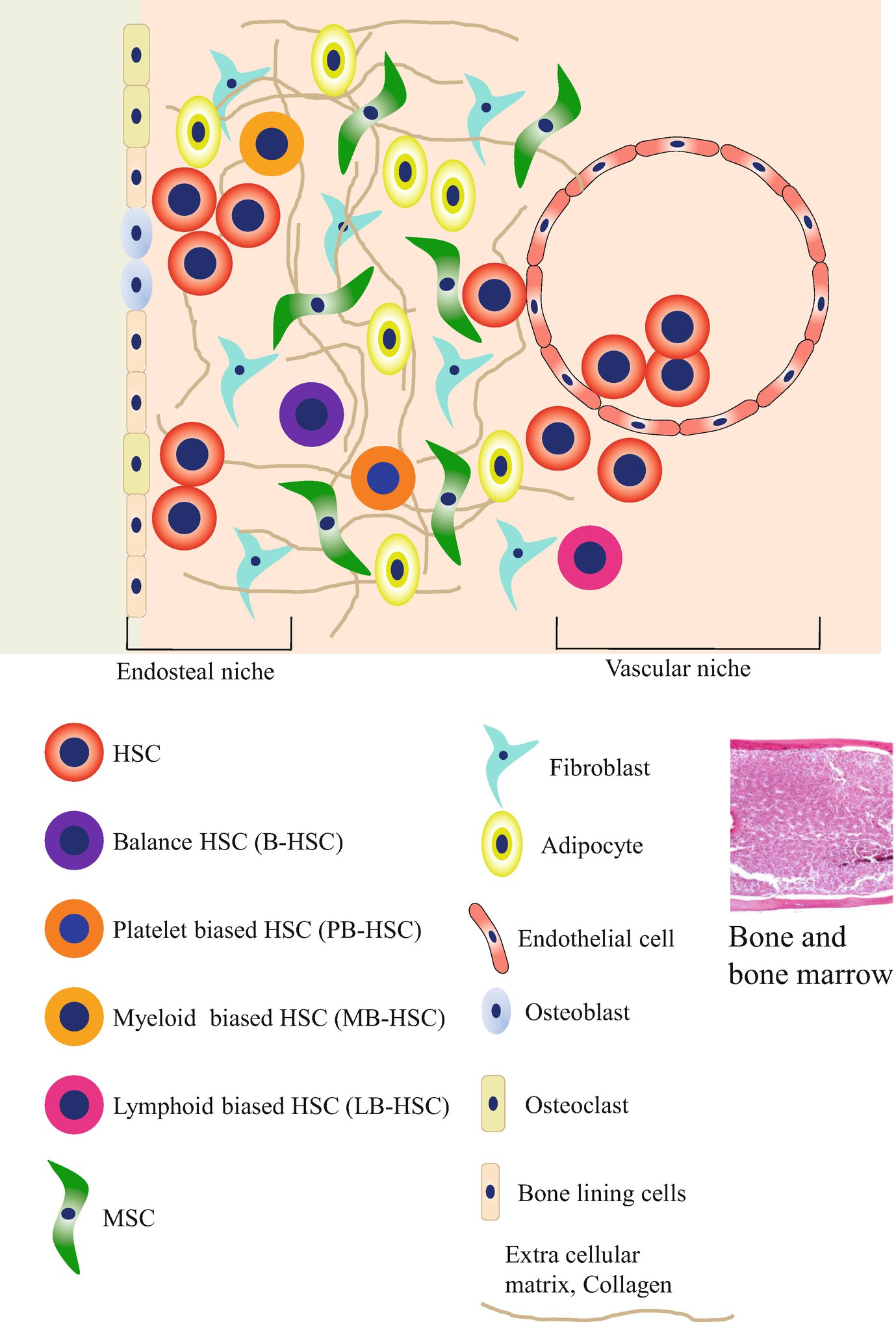 Bone Marrow Stem Cells Aging And Age Related Diseases