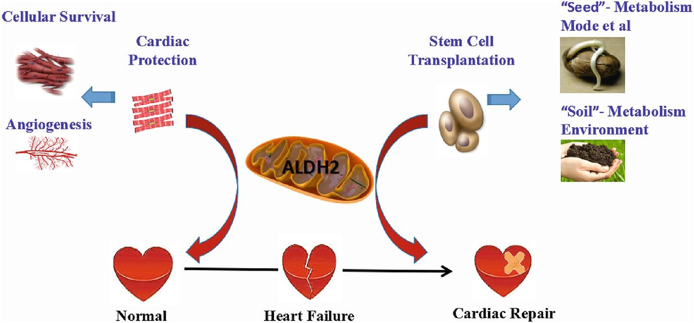 Aldehyde Dehydrogenase 2 And Heart Failure Springerlink