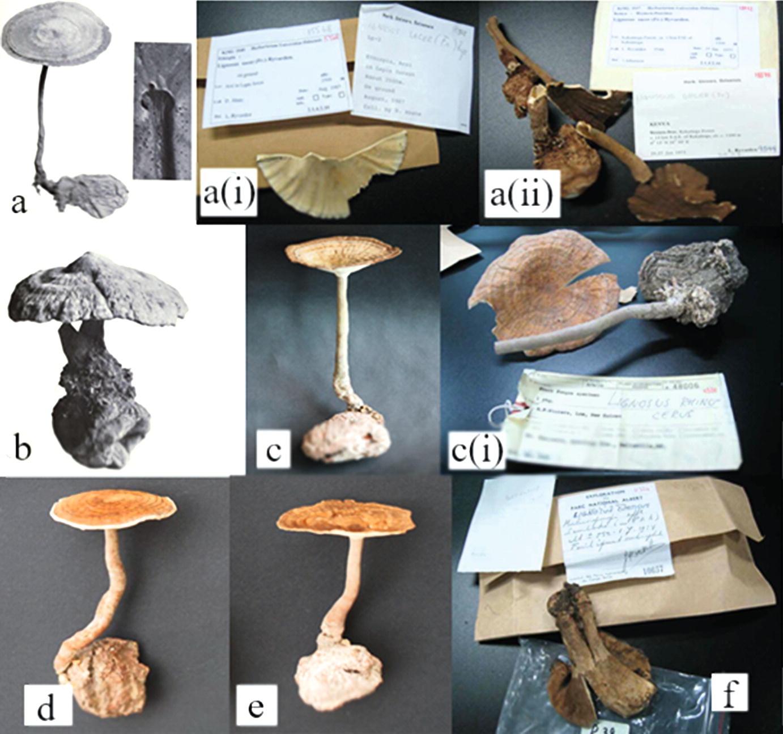 Tiger Milk Mushroom (The Lignosus Trinity) in Malaysia: A Medicinal
