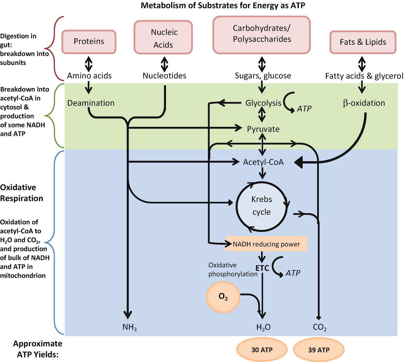 Role of Oxidative Stress in Myocardial Ischemia and ... Vermeer H Wiring Diagram on