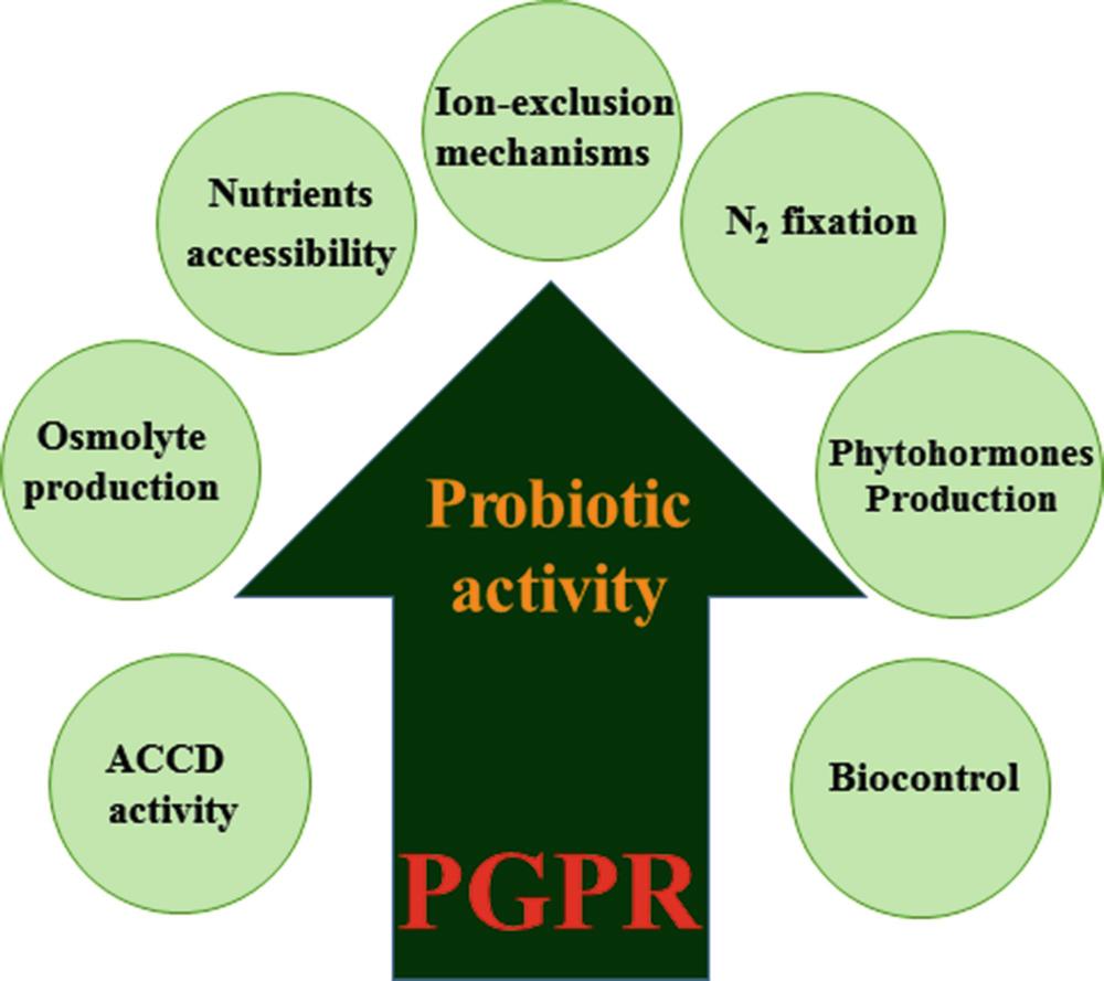 Halotolerant Rhizobacteria: A Promising Probiotic for Saline
