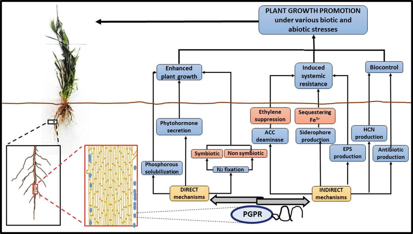 Microbial Augmentation Of Salt Affected Soils Emphasis On