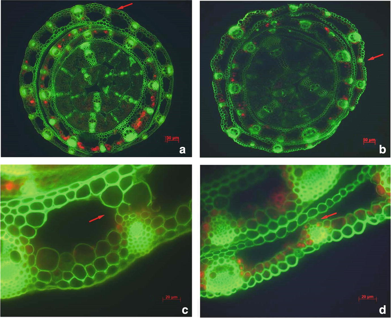 Response Mechanism of Sheepgrass ( Leymus chinensis) to