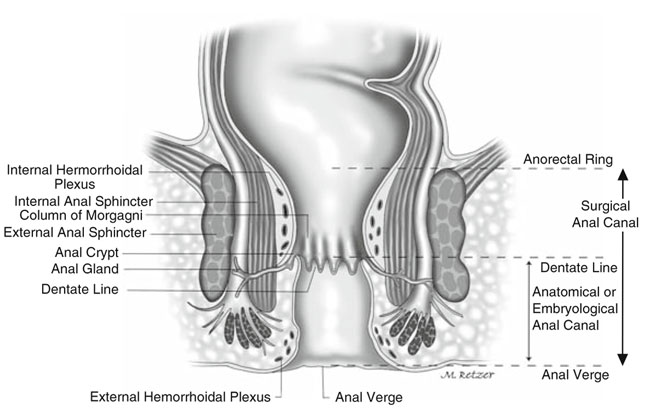 Anatomy And Embryology Of The Colon Rectum And Anus Springerlink