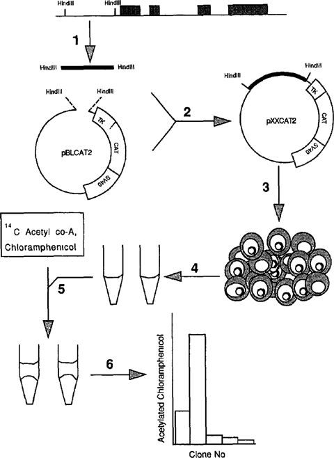 transfection of the chloramphenicolacetyltransferase gene