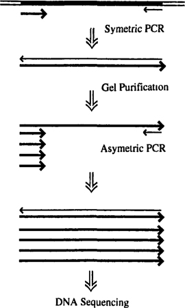 Sequencing reactions for alf embl automated dna sequencer fig 8 scheme for purification of genomic pcr products fandeluxe Choice Image