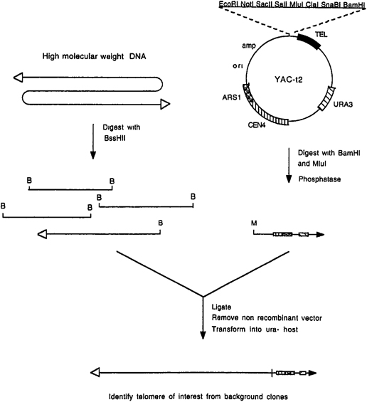 Cloning of Human Telomeres in Saccharomyces cerevisiae