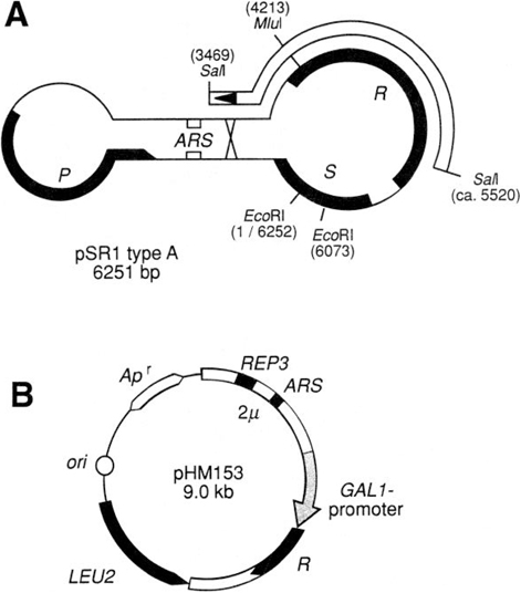 Chromosome Engineering In Yeast With A Site Specific Recombination