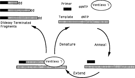 Thermal cycle dideoxy dna sequencing springerlink fig 1 diagram of the thermal cycle fandeluxe Choice Image
