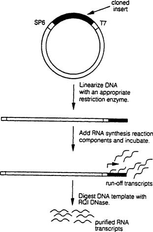 Transcription In Vitro Using Bacteriophage Rna Polymerases