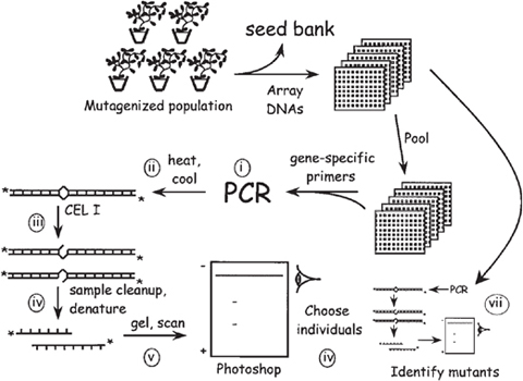 High-Throughput TILLING for Arabidopsis | SpringerLink