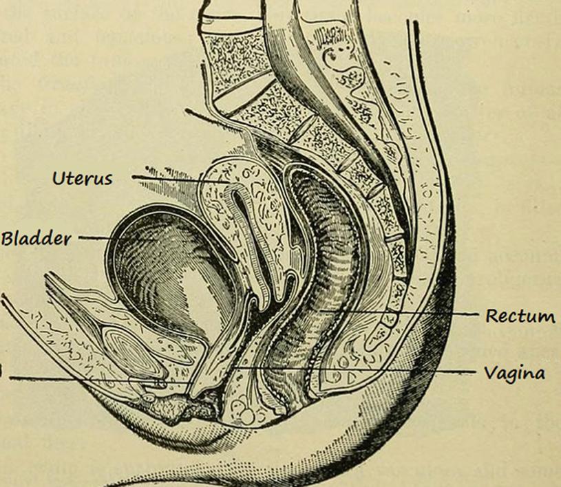 uterus normal findings springerlink