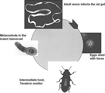 tapeworm intermediar