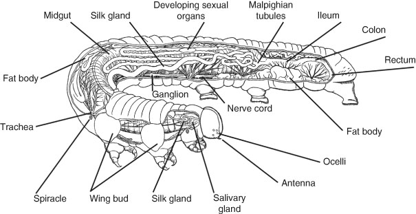 Internal Anatomy of Insects   SpringerLink