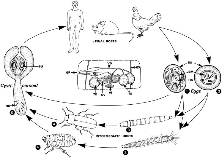 A hymenolepidosis egy tojásféreg - eroszakmentes.hu