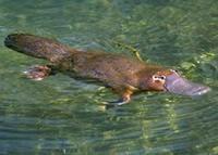 Duck-billed platypus boasts ten sex chromosomes | Nature