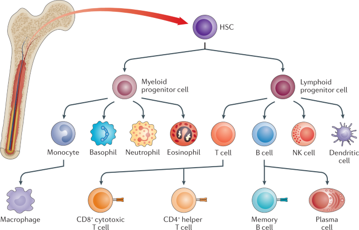 Multiscale engineering of immune cells and lymphoid organs