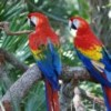 What do color vision and red coloration in birds have in common? A study of 'The Red Gene'