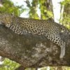 Ancient and historical leopard DNA in the spot-light