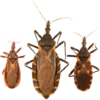 Are kissing bugs moving to the city?