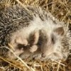 Hedgehogs reveal the presence of a little-known parasite in Mallorca:  the rat lungworm
