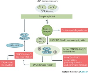 Fanconi anaemia and cancer: an intricate relationship | Nature Reviews  Cancer